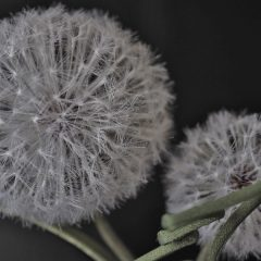 silk dandelion clocks