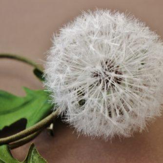 dandelion closeup (500x421)
